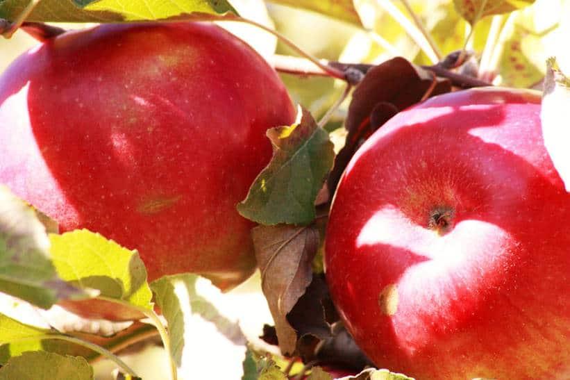 dessert aux pommes 10 recettes sant 233 la confession du gourmet